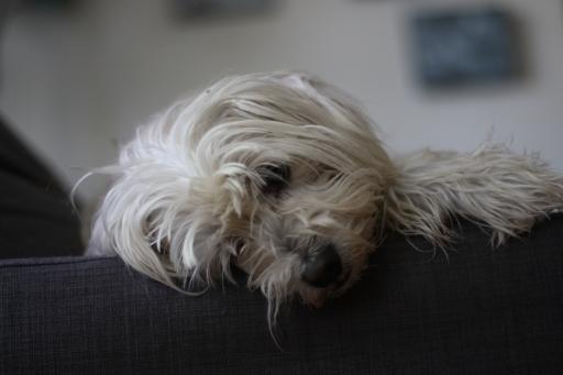 Captain and the Greyhound, Captain, sleepy, thinking, cute dogs